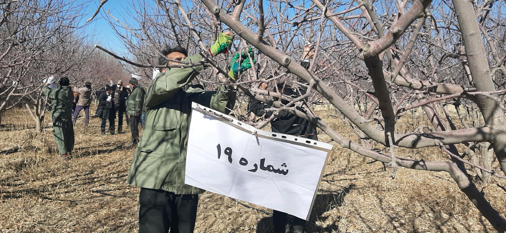 برگزاری مسابقات هرس درختان در فریمان